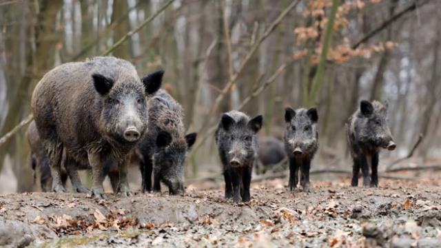 W ten weekend wielkie liczenie dzików na terenie powiatu łobeskiego.